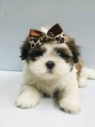 Shih Tzu - lindos babys dogs em loja!!!