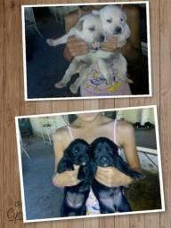 Vendo lindos filhotes de cachorro labrador