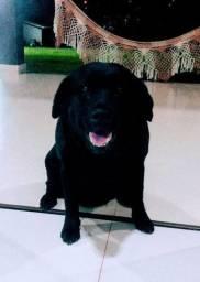 Labrador fêmea procura de namorado.