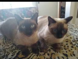 Doa-se gatos siamês