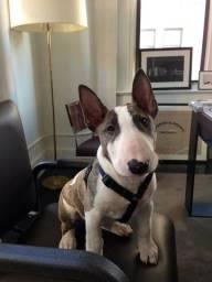 Bull Terrier, macho e fêmea, com garantia de vida e saúde!