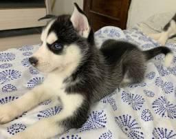 Filhote fêmea husky siberiano