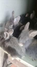 Vende filhotes de coelho