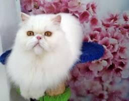 Procurando um Gato Macho da Raça Persa