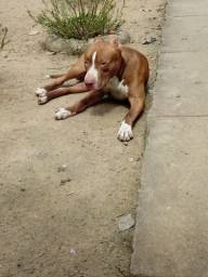pitbull red nose 1 ano