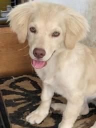 Fêmea 7 meses Labrador misturada