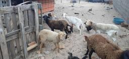 Lote de cabras