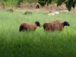 Vende plantel de carneiras e carneiros