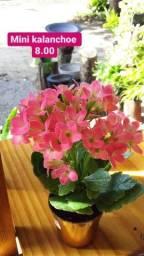Flores Kalanchoe planta