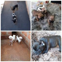 Título do anúncio: Vendo filhotes bulldog e adultos pincher prenha e maltês