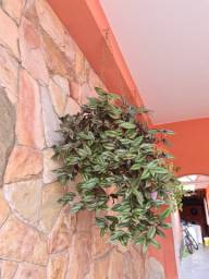 Planta lambari