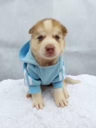 Filhotes de Husky Siberiano