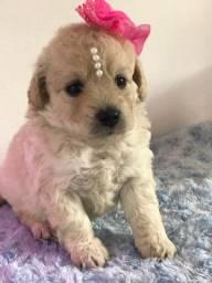 Poodle macho e fêmea micro toy