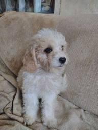 Título do anúncio: Filhotes de Poodle 2 meses