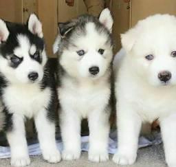 Belos Filhotes de Husky Siberiano