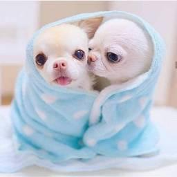 Chihuahua - machinhos e femea com garantia de vida e saúde