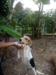 Título do anúncio: Cachorra beagle com fox