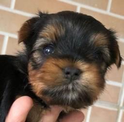 Macho perfeito de yorkshire terrier disponível a pronta entrega