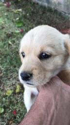 Labrador-filhotes lindos!!!
