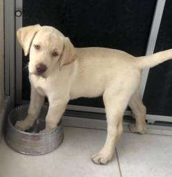 Labrador fêmea filhote