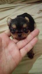 York micro, beagles, golden retrivier, labrador, sharpei, husky, siberiano