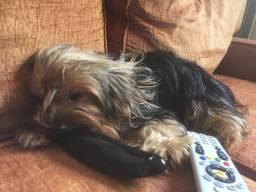 Yorkshire terrier (procuro namorado)