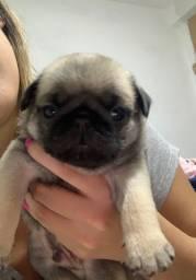 Vendo filhote Pug macho