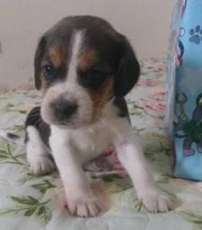 Beagle - Filhotes - entrega imediata