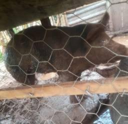 Porco marrom e preto Porca preta prenha