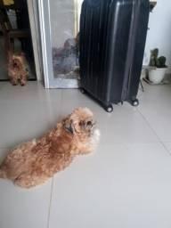 Cachorro zhitzun