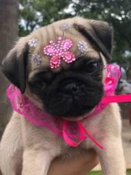 Pug fêmea abricó disponível pet select