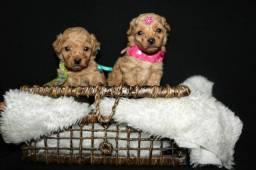 Para cliente exigentes poodle mini toy red f/m ...leia