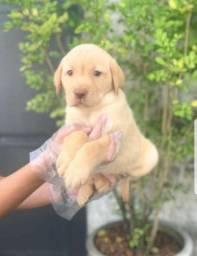 Labrador pronta entrega