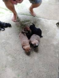 Vendo filhotes de poodle com Shitzu.