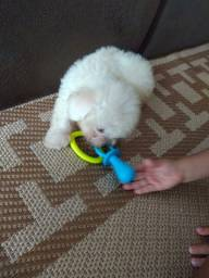 Poodle toy macho