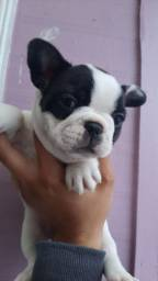 Bulldog fêmea ou macho é na MK Dr Pet-