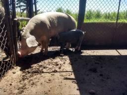 Vendo 1 porca 1 porco e um leitão