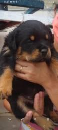 Venda filhote de  Rottweiler 800,00