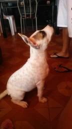 Cachorro Pitbull america