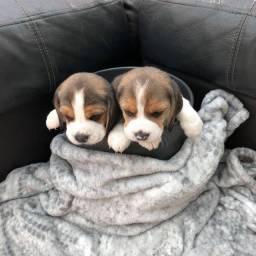 Lindos Filhotes De Beagle , A Pronta Entrega Com garantia !
