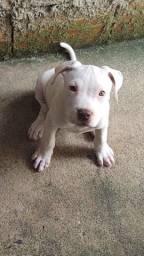Último filhote Pitbull 2 meses já comendo ração.