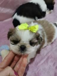 Fêmea raça shih tzu com garantia veterinária já disponível
