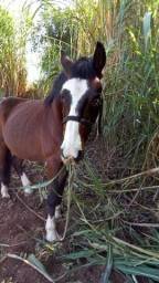 Vende-se cavalo mestiso crioulo