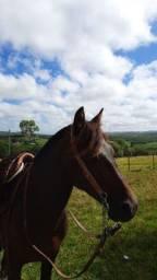Cavalo zaino, capado registrado
