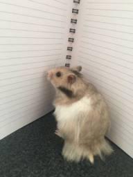 Título do anúncio: Hamster Sírios Angorá