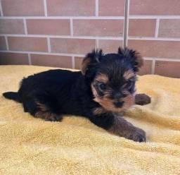Lindo filhote de yorkshire terrier macho disponível