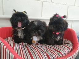 PROMOÇÃO: Filhotes de Shih Tzu com pedigree