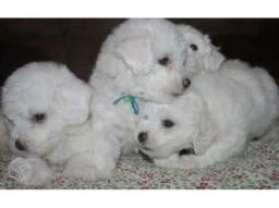 Poodle toy maravilhosos filhotes pronta entrega