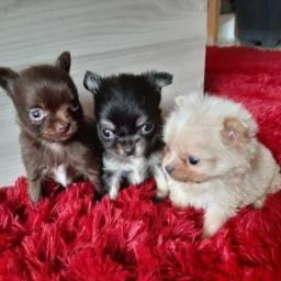 Chihuahuas micro de bolso