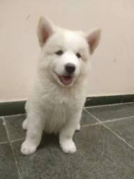 Cachorras Akita